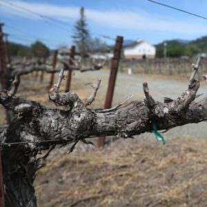 Varozza gnarly vines
