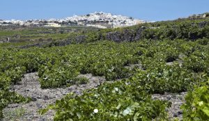 Artemis Karamolegos vineyard