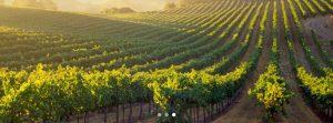 Frei Brothers vineyard