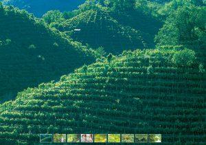 Glera grape vineyard in Valdobbiadene