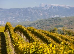 Kettmeir vineyards 1