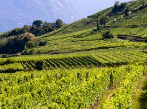 Kettmeir vineyards 2
