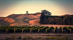 Kim Crawford Hawke's Bay vineyard