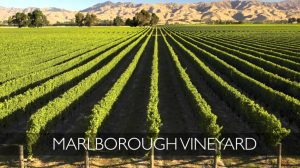Marlborough vineyard-KC