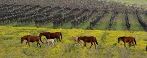 Yarden vineyard summer