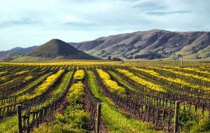 Edna Valley Vineyard vineyard