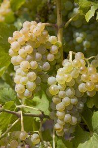 Green grenache grapes