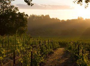 J Vineyard Robert Thomas vineyard