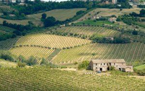 Masciarelli vineyard