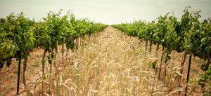 McPherson vineyard
