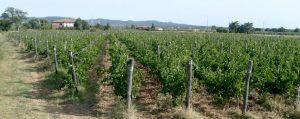 Renicci vineyards