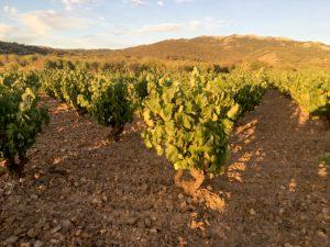 bodegas-san-valero-vineyard
