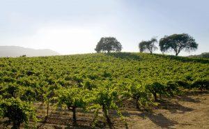 br-cohn-vineyard