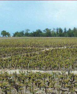 chateau-fonbadet-vineyard