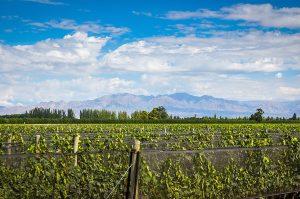 gascon-vineyard