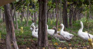 kaiken-caiquenes-wild-geese