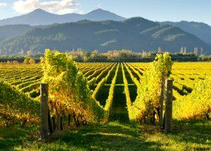 kim-crawford-sauv-blanc-vineyard