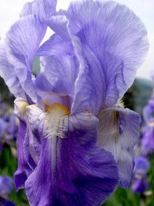 florentine-iris