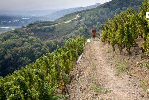 guigal-vineyard