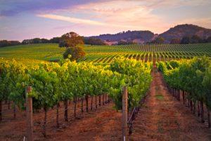 tom-gore-vineyard