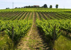 tenuta-sassoregale-vineyard-in-maremma