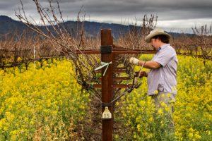 tom-gore-at-work-in-his-vineyard